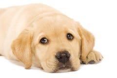 Pupp do Retriever dourado Fotografia de Stock Royalty Free