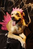 pupp princess 2 halloween Стоковое Изображение RF