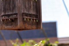 Puppa för monarkfjäril, Danausplexippus, i gummin för en fjäril royaltyfri bild