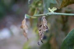 Puppa för sebraLongwing fjäril som hänger från en Corky Stem Passion Flower Stem royaltyfri foto