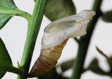 Puppe des gemeinen Kalkschmetterlinges, Papilio-demoleus lizenzfreie stockbilder