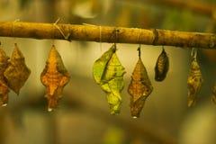 Puppen von Schmetterlingen in einem Insectary Stockfotos