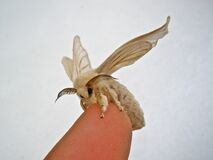 Puppet the Silkworm Moth Royalty Free Stock Image