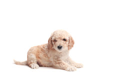 Puppie Royalty Free Stock Images