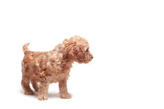 Puppie. Small puppie over a white background, space in right side for text, objects Stock Image