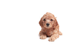 Puppie Royalty Free Stock Photos