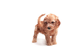 Puppie Image stock