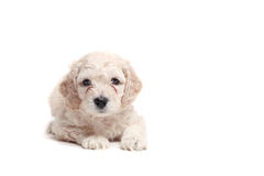 Puppie. Small puppie over a white background, space in right side for text, objects royalty free stock photo