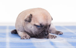 Puppie on a blanket. Royalty Free Stock Photo