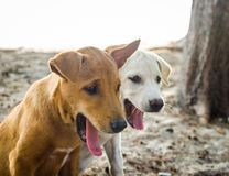 Puppie brun et blanc mignon baîllant Photographie stock