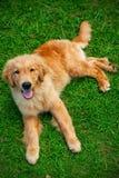 Puppie del perro perdiguero de oro Foto de archivo libre de regalías