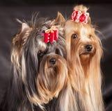 Puppie del Terrier di Yorkshire immagini stock libere da diritti