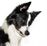 Puppie di border collie Immagini Stock