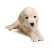 Puppie of golden retriever Stock Photo