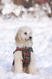 Puppie siting in snow. Small caniche puppie in snow Royalty Free Stock Image