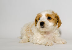 Puppie Stock Photography