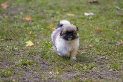 Puppie speelt in het gras Stock Afbeeldingen
