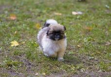 Puppie speelt in het gras Stock Fotografie