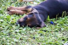 Puppie ter plaatse Royalty-vrije Stock Foto