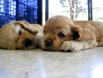 Puppies Stock Photo
