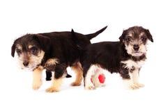 puppies Stock Fotografie