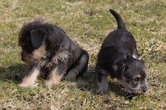 puppies Stock Afbeelding
