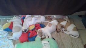 puppies stock foto