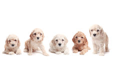 Puppies. Small puppies side by side over a white background Stock Photography
