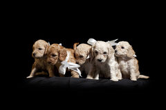 Puppies. Small puppies side by side over a black background Stock Photos