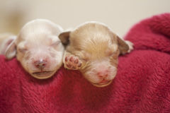Puppies. Two small puppies sleeping in blanket Stock Photos