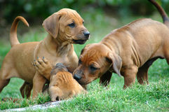 Puppies. Active red wheaten Rhodesian Ridgeback dog puppies are playing and fighting with another puppy of the litter. These babies are very cute stock photo