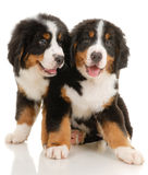 Puppies royalty free stock photos