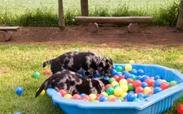 Puppies. Royalty Free Stock Images