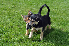 Free Puppies Stock Photography - 16239022