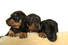 Puppies Stock Image