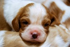 Puppies. Of cavalier king charles spaniel lying on the ground Stock Image