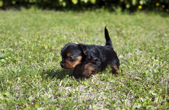 Puppies 2 Royalty Free Stock Photo