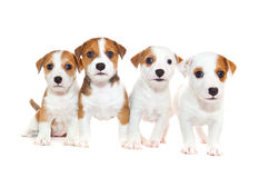 Puppies 2 months old, sitting in front of white background Stock Images