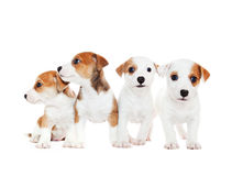 Puppies 2 months old, sitting in front of white background Stock Image