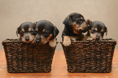 Free Puppies Stock Image - 22701411