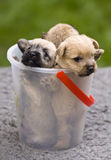 Puppies Royalty Free Stock Image