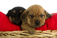 Puppies. Two cute puppies brothers on a soft red cushion royalty free stock image