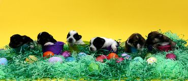 Puppies. Little puppies in baskets with easter decorations and yellow background Stock Image