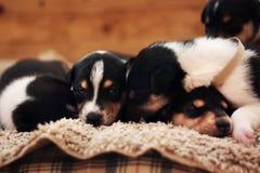 puppies Royalty-vrije Stock Afbeeldingen
