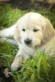 puppies royalty-vrije stock foto