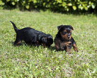 Puppies 5 Stock Photo