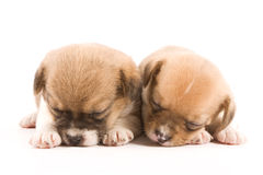 Puppies. Two sleeping puppies on a white background Royalty Free Stock Images