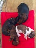 puppies Foto de Stock