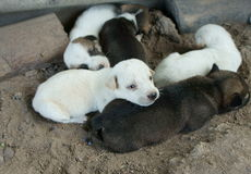 puppies Stock Afbeelding