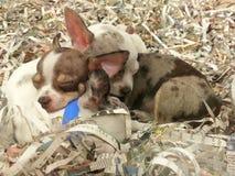 puppies Foto de Stock Royalty Free